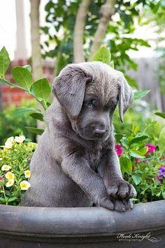 Silver lab puppy! :)