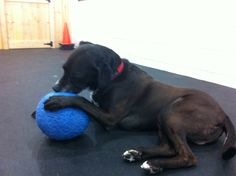 Seamus' favourite day care activity, attempting to deflate the un-deflatable ball.