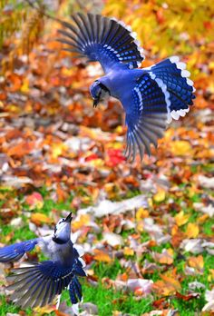 Blue Jay Fight