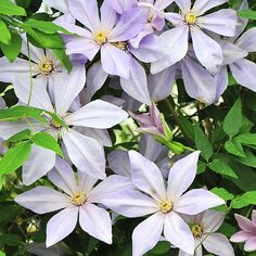 Clematis 'Sugar-Sweet Blue'. As fragrant as it is colorful, one of the first single-flowering clematis that emits a rich, gardenialike scent. Growing 9 feet tall,  shows off star-shape, periwinkle blue blooms from April to June. Plant it near your house so you can enjoy its sweet scent at close range. Full sun, partial shade. 6-9 feet tall, 18-24 inches wide. Zones: 5-11. Bloom Time: April-June
