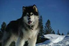 Alaskan Malamute, Animals Beautiful, Husky, Puppies, Dogs, Animaux, Cutest Animals, Doggies, Puppys
