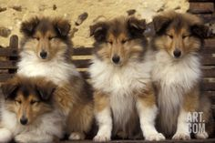 Rough Collie Dogs Four Puppies Photographic Print at Art.com