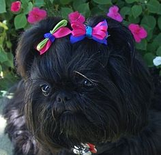 Solid Black Shih Tzu by tracey