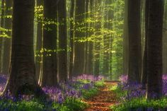 Bluebell forest, Belgium - Apr 2016 Photographer Martin Podt captured images of the stunning bluebel... - Martin Podt/REX/Shutterstock/Rex Images