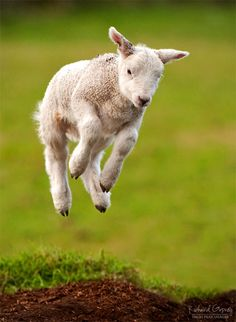 A spring in his step-- a lamb gamboling. Photo by Richard Gosney, via Farm Animals, Animals And Pets, Funny Animals, Cute Animals, Sheep And Lamb, Baby Goats, Animal Photography, Animal Kingdom, Pet Birds