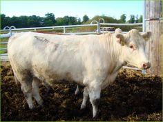 Mein BioRind   Rind 1