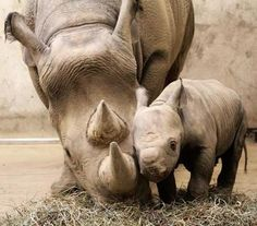 Oh my goodness!  Precious Baby Rhino with Mom ♥