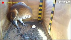 Great owl box to watch with kids, my 3rd graders LOVED it last year watching from eggs to fly away...(rodents, bunnies, are shown) but great for projects....1st egg of 2nd clutch laid yesterday!