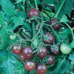 Black Cherry cherry tomato
