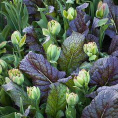 Tulips & Mustard Greens