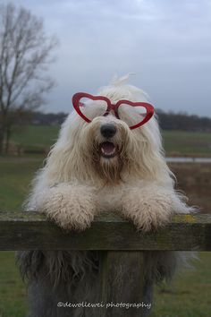love you !  Heart sunglassed Old English Sheepdog.