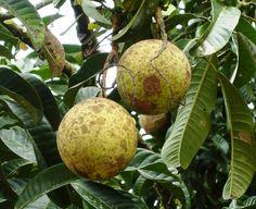 spiky fruit healthy fruit preserves