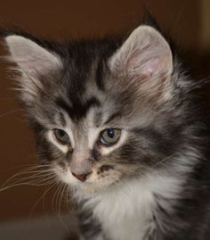 Jade, a black silver classic tabby w/white, Female. Maine Coon kitten