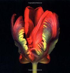 The Infinite Tulip: Harold Feinstein: 9780821228746: Amazon.com: Books