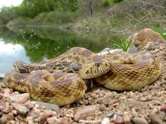 Bull Snake - Pituophis catenifer by Joe Farah