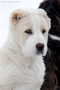 Central Asian Shepherd Dog
