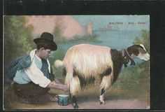 Vintage postcard #goatvet collects cards which feature goats