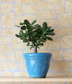 Jade plant (also known as baby jade, dwarf rubber plant, jade tree, Chinese rubber plant, Japanese rubber plant or friendship tree) is toxic to both cats and dogs. The toxic property in this plant is unknown, but ingestion can cause vomiting, depression, ataxia (incoordination) and bradycardia (slow heart rate; this is rare).