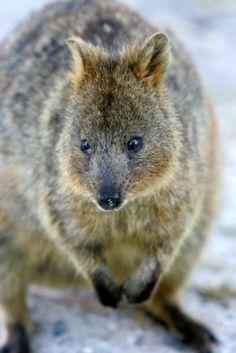 Quokka .......small Australian marsupial..endangered
