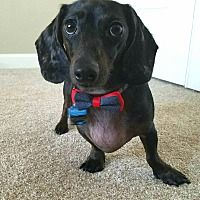 Oregon Dachshund Rescue Inc. is a 501 non profit with 25 years experience of rescuing Dachshunds. My goal is to provide homes for unwanted, special needs and abandoned Dachshunds. Dachshund Adoption, Pet Adoption, Pet Dogs, Dog Cat, Dachshunds, Portland Oregon, Dog Photos, Dog Stuff, Pickles