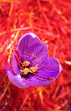 Saffron Crocus, Saffron Flower, Spice Logo, Saffron Threads, Cake & Co, Spices And Herbs, Paradise On Earth, Food Art, Seeds