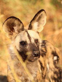 Close-up of African wild dog (Lycaon pictus)