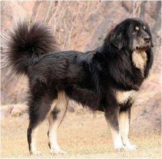 Himalayan Guard Dog OR Indian Mastiff
