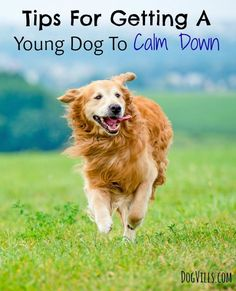Tips For Getting A Young Dog To Calm Down: Does Fido go totally bonkers every time he sees you? Is he a bit unruly at the dog park? Check out these training tips for getting a young dog to calm down!