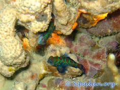 Mandarin fish Mandarin Fish