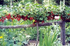 Redcurrants can be trained as cordons or fan on a north facing wall.  Great use of space.