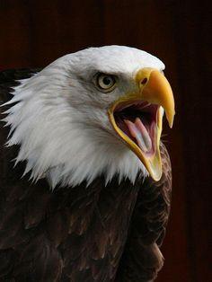 The Magnificent Bald Eagle at Banham Zoo - Adler - Eagle Images, Eagle Pictures, Beautiful Birds, Animals Beautiful, Cute Animals, Aigle Animal, Eagle Painting, Eagle Art, Tier Fotos