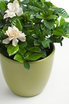Caring for Gardenias
