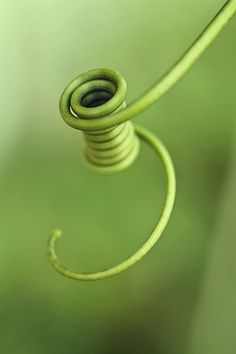 Scalar Waves create spirals in all things, from the swirl of our finger tips to the swirl of this vine...