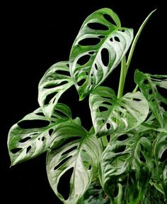 "Monstera friedrichsthalii ""Swiss Cheese Vine"" - Easy to Grow Tropical Plant Houseplant or Outdoors"