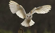 Operation Owl: boxes help save these beautiful bellwethers of ...