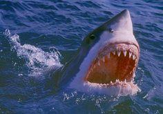 暑いな、ホホジロザメの画像でも貼って涼もうぜ : ハムスター速報
