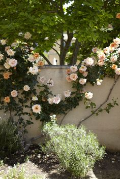 climbing roses against garden wall