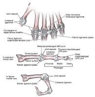 Metacarpophalangeal ligaments - ligament overviews.