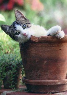 Fresh Farmhouse — Gray/White Kitty Cat in Terra Cotta Pot!!