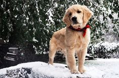 tennesseantraditions:  I swear to God…golden puppies in the snow are THE. BEST.