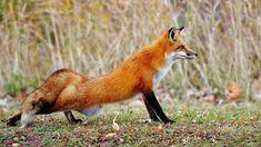 Red Fox 1600x900