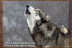 Howling in the Snow