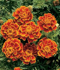 Queen Sophia¿ Marigold Seeds and Plants, Annual Flower Garden at Burpee.com