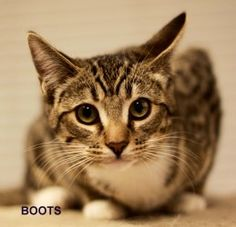 Boots & Olivia is an adoptable Domestic Short Hair Cat in Prescott, AZ. Boots & Olivia's Contact Info *** Questionnaire *** If you would like to meet Boots & Olivia, please download the questionnaire,...