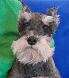 Buster is a good-natured Miniature Schnauzer debuting for adoption today at Nevada SPCA (www.nevadaspca.org).  He is good with other dogs and reportedly housetrained and crate-trained.  Buster needed us because of his previous owner's life-threatening disease.  He is about 8 years of age, and neutered.  Buster is reportedly most comfortable in a calm, adult-only home environment and that is the ideal we are hoping for him.