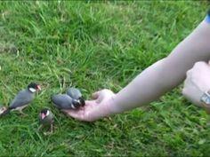 文鳥パラダイス!ハワイの野生文鳥5 手乗りに成功!