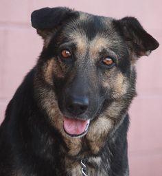 Westside German Shepherd Rescue of Los Angeles