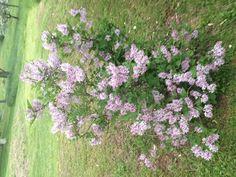 Lilac bush.