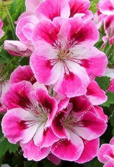 Regal Geranium 'Kyoto' (Pelargonium x domesticum) Beautiful Flowers Garden, Flowers Nature, Exotic Flowers, Amazing Flowers, My Flower, Pretty Flowers, Colorful Flowers, Pink Flowers, Trees To Plant