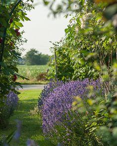 Front garden, city of Beveren, Oost-Vlaanderen province, Belgium #lavender